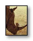"Painting: ""Rhino"" - ©1988-C.E.Newland - acrylic - Private Collection"